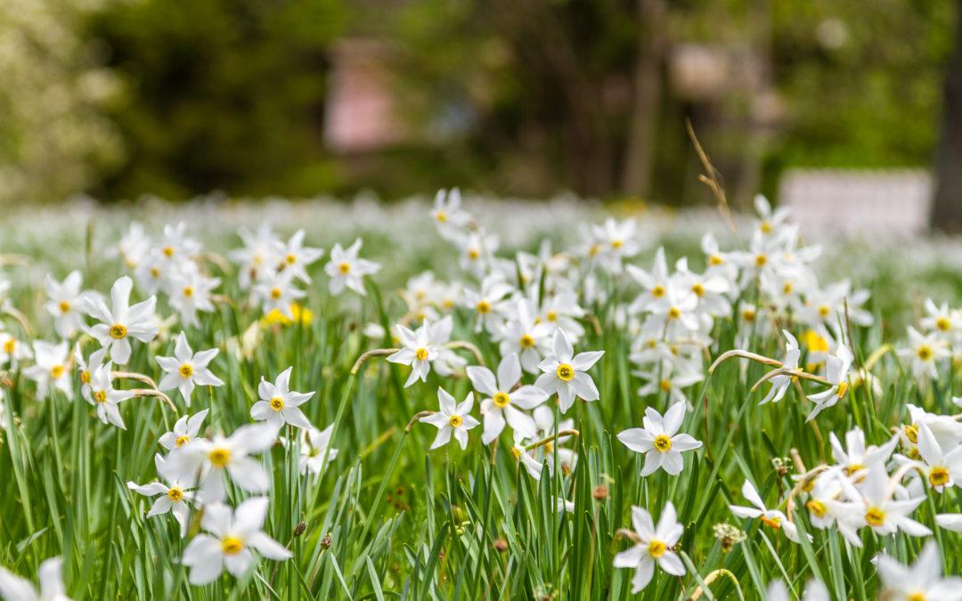 Daffodils on Mt. Golica